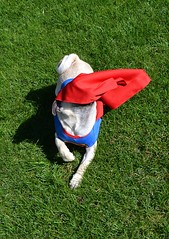 Boo Superman Pug (DaPuglet) Tags: pug superpug superman pugs dog dogs pet pets animal animals costume halloween puppy puppies funny cute cape
