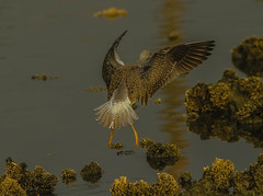 Yellowlegs Landing (cetch1) Tags: wild nature birds wildlife birding yellowlegs shorebirds contempolagoon