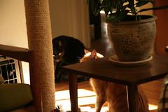 Trouble Brewing (Brett A. Fernau) Tags: cats sunbeam gingercat catsitting deadeyebart brettfernau c5d tikicat