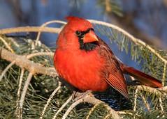 _M8A0852 copy (trashguy9) Tags: cardinal