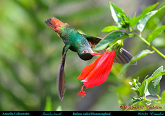 RUFOUS-TAILED HUMMINGBIRD Amazilia tzacatl Contortion to Pierce a Red Flower in Mindo in Northwestern ECUADOR. Hummingbird Photo by Peter Wendelken. (Neotropical Pete) Tags: ecuador hummingbird ngc colibri picaflor rufoustailedhummingbird amaziliatzacatl mindo pichincha amazilia chupaflor ecuadorbirds southamericanbirds sleepinghibiscus neotropicalbirds ecuadorhummingbirds peterwendelken hummingbirdphotobypeterwendelken southamericanhummingbirds mindohummingbirds rufoustailedhummingbirdinecuador amaziliacolicastáño rufoustailedhummingbirdfeeding malvariscusarboreus