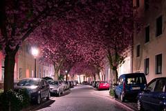 Kirschbluten Bonn (iamrob.de) Tags: germany cherry deutschland spring bonn blossom mai april avenue altstadt frhling kirschblten heerstrase iamrob