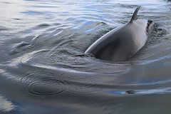 141216 Sighting of Minke Whale (BY Chu) Tags: antarctica minkewhale antarcticaxxi andvordbay zodiaccruising