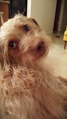 Honey (tiffanycsteinke) Tags: dog mix dachshund doodle honey poodle wirehair doxipoo