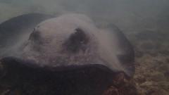 Galapagos - Witch Hill - San Cristobal - Février 2015 (28) (Valerie Hukalo) Tags: southamerica ecuador stingray galapagos snorkeling pacificocean sancristobal equateur underwaterphotography amériquedusud raie océanpacifique photosousmarine witchhill hukalo valériehukalo photoaquatique