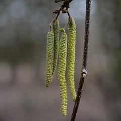 Hazel Catkin & Flower (chris_o_hughes) Tags: flower hazel catkin corylusavellana windrush standlakecommon chrishughesnoggin lwvp