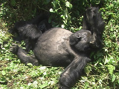 Gorilla Scratching Head