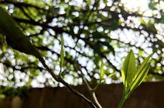 IMG_0562B (Unknown Explorer) Tags: macro tree leaf bokeh indian malta orrange