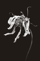 Wilted (laskaproject) Tags: portrait blackandwhite white black flower nature closeup dead death petals curls dry wilted