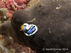 Bunaken - Pangulingan (CATDvd) Tags: indonesia nudibranch seaslug underwaterphotography chromodoris fotosub chromodorisannae nudibranquio pangulingan catdvd bunakenisland nudibranqui canonpowershotg9 davidcomas indonsia httpwwwdavidcomasnet httpwwwflickrcomphotoscatdvd sukawesi august2014