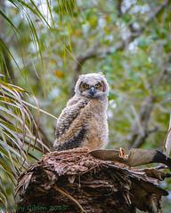 Fort De Soto Great Horned Owlet 02-23-2015 (1 of 27) (Jerry's Wild Life) Tags: owl greathornedowl fortdesoto greathorned ftdesoto fortdesotopark ftdesotopark greathornedowlet greathornedowlowlet