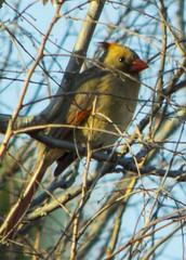 Lady Cardinal (seniors30) Tags: oklahoma birds animal nikon cardinal feathers femalecardinal d3200 edmondoklahomausa stevensenior