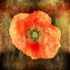 """Neruda's """"poppy-petalled meta- (eepeirson) Tags: poppy metaphysics pabloneruda txeep poppypetalled"""