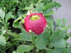 Ranunculus (wallygrom) Tags: flowers england westsussex ranunculus angmering manornursery manornurseries