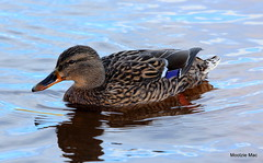 Quack ,Quack (mootzie) Tags: blue reflection bird water duck riverside feathers aberdeen ripples paddling
