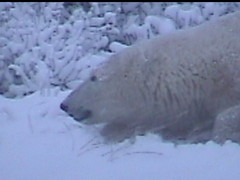 Polar Bear in the Snow 2