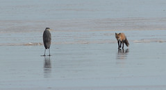 "Heron and fox on the ice 2 • <a style=""font-size:0.8em;"" href=""http://www.flickr.com/photos/75865141@N03/16563491755/"" target=""_blank"">View on Flickr</a>"