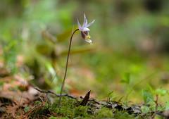 Calypso orchid (Calypso bulbosa var. americana) (T. Morris) Tags: orchid minnesota orchidaceae wetlands wildflower bog calypso northernminnesota rarewildflower rareflora bogflowers whitecedarbog