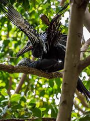 210-1 (craigchaddock) Tags: west african mating sandiegozoo hornbill longtailed whitecrestedhornbill tropicranusalbocristatus scrippsaviary birdsmating matingbirds westafricanlongtailedhornbill