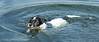 The Swimming Nibbler (Mr Whites Paw Prints) Tags: dog water swimming jackrussell nibbler