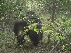 Sri Lankan Sloth Beard