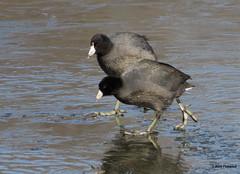 Coots on Ice (Beth Fishkind) Tags: winter ny newyork birds birding longisland february birdwatching coot millpond americancoot bridgecamera sx50 canonpowershotsx50