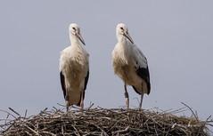 Jungstörche (Teelicht) Tags: ciconiiformes deutschland germany leiferde lowersaxony nabu niedersachsen schreitvögel storch vogel bird stork