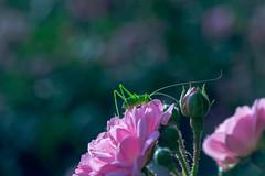IMG_7538 (::nicolas ferrand simonnot::) Tags: paris | 2016 fujinon 55mm f22 20mm vivitar ext tube 5 blades iris m42 f8 macro rose grasshopper green pink purple pentagone bokeh depth field insect flower vintage manual japanese prime lens color fujinon55mmf22 bokehwhores
