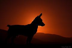 IMG_2750 copy (padraig thornton) Tags: outdoor sky sun sunset summer colorful dog animal cannine friend silhouette red canon 7d pet padraig thornton manorhamilton coleitrim ireland greatphotographers autofocus