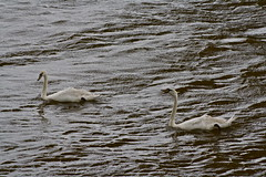 This swan and the other (Dave 'FBI' Gibbons) Tags: swan swans bird birds aquatic marine wild wildlife swim beak river taw devon float