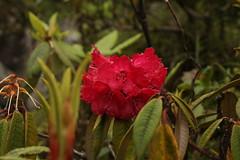 Rhododendron arboreum (2) (siddarth.machado) Tags: rhododendron northsikkim himalayanflora 3000msl