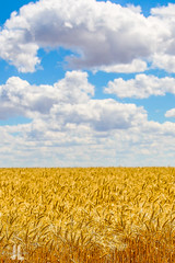 IMG_8337 (larzz4444) Tags: chester montana winterwheat chestermontana gleaner drylandfarming sweatgrasshills joplinmontana wheatharvest sunset