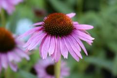 Echinaea DoF (Read2me) Tags: flower she cye garden capecodheritagemuseumandgarden pink dof bokeh pregamewinner ge thechallengefactory