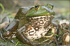 His Majesty (muledriver) Tags: nature frogs amphibians ponds bullfrogs