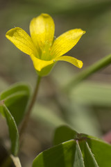 Flor de trbol (Gayoausius) Tags: flor flower florhermosa floral floracin macro macrofotografa colors t3i 600d 7dwf planta