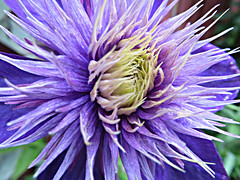 Flirty Seduction (bigbrowneyez) Tags: seduction flickrseduction fancy clematis macro explosion decorative artful creative delightful delight gorgeous striking awesome cool precious special beautiful belissimmo bello purple spoky nature natura miogiardino spikes flirty flirtyseduction flickrflirty mygarden