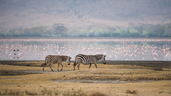 Zebras in the Ngorogoro Crater - Tanzania (Raymond J Barlow) Tags: flamingos wildlife tanzania africa phototour raymondbarlow zebra ngorogoro crater adventure travel workshops