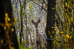 Whitetail Deer (reposted) (BJMarshall) Tags: white canada art beautiful wall forest spring day winnipeg tail wallart doe manitoba deer curious shedding whitetail repost redo