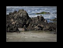 Elephant seal (tkimages2011) Tags: elephant seal elephantseal animal water beach sand sansimeon california highway1 pacificcoasthighway pacific ocean