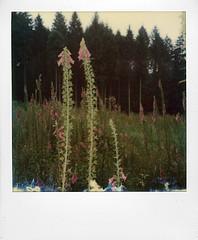 Reserve des Hautes Fagnes Eifel (@necDOT) Tags: hautesfagnes jalhay eifel polaroid slr680 color600 impossibleproject digitale digitalis