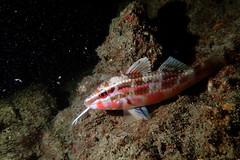 Pointed Goatfish (night phase) (Gomen S) Tags: ocean china sea summer hk fish nature animal night hongkong marine asia underwater wildlife sandy diving torch tropical 2016 tg3 olymups pt056