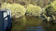 inundated (ClareSnow) Tags: water waterlevel lake boardwalk naturereserve lakegwelup lakegwelupreserve perth australia winter melaleucarhaphiophylla melaleuca