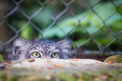 Cat is watching you (Cloudtail the Snow Leopard) Tags: animal cat mammal zoo feline katze mhlhausen tier felis manul pallas mulhouse sugetier otocolobus