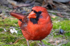 Male Northern Cardinal (AngelVibePhotography) Tags: animal nikon birds macro cardinal nikonp900 northcarolina nature closeup outdoor red bird