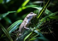 Chameleon In Grass (Dari_Extension) Tags: chameleon lizard grass nature closeup