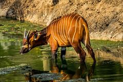 African Bongo (ToddLahman) Tags: africanbongoantelope bongo sandiegozoosafaripark safaripark canon7dmkii canon canon100400 safaritram safari escondido