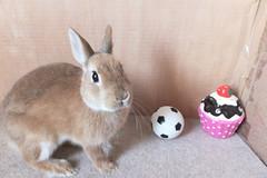 Ichigo san 249 ICHIGO san  (mensore) Tags: brown bunny cute family ichigo netherland dwarf netherlanddwarf pet rabbit