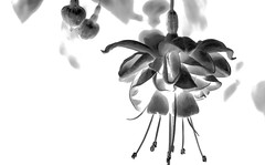 Ephemere BW.jpg (haalkab) Tags: suspended nopeople purple flower metallic artistry red mexico xochimilco pink 500px bw green abstract haalkab affiche surreal desktop love growth petal closeup floral garden light dark nature leaf beautiful bright flora elegant colorful tropical blancoynegro monocromtico fondoblanco
