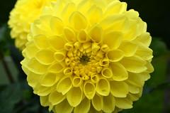 Gärten der Welt (Gardens of the World) (Björn O) Tags: gärten garten garden gärtenderwelt botanik pflanze pflanzen plant plants flower flowers blume blumen gelb yellow blühen blüte blossom blüten