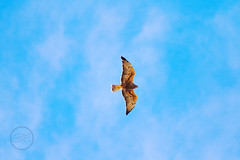 Look Up (breann.fischer) Tags: hawk hawks birds birdwatching wildlife nature landscape sky greatplains wildprairie beautyseeker nd2016contest